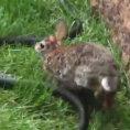 Mamma coniglio salva il figlioletto catturato da un serpente