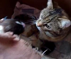 Affidano un cucciolo di cane a mamma gatta, la reazione è dolcissima