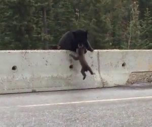 Mamma orsa salva il figlio