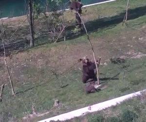 Mamma orsa salva il figlio sull'albero