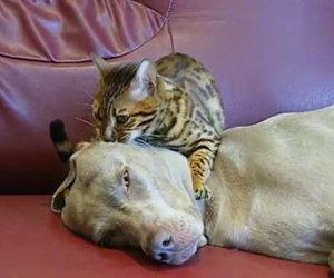 Questo gatto fa un dolce massaggio al suo amico cane