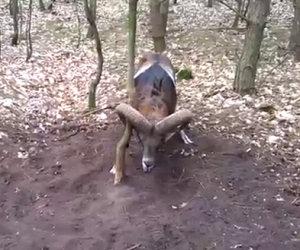 Un muflone è rimasto intrappolato. Ecco il modo in cui viene salvato