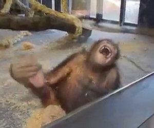 Un orango ride a squarciagola dopo un trucco di magia