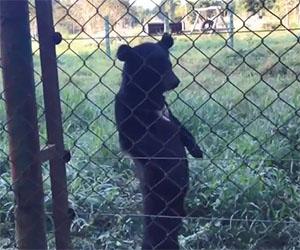 Questo orsetto cammina come un essere umano