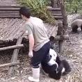 Il piccolo panda non vuole che la sua amica vada via