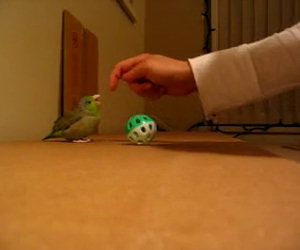 Pappagallino gioca con la palla