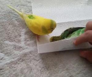 Un pappagallino è morto, la reazione del suo amico è incredibile