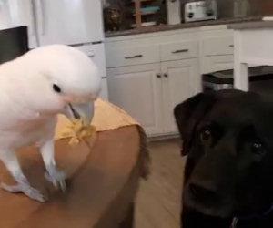 Il pappagallo fa mangiare il suo amico cane
