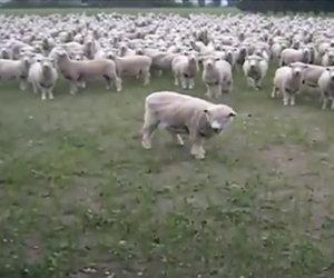 Parlare ad un gregge di pecore