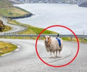 Pecore usate per fotografare su Street View al posto di Google