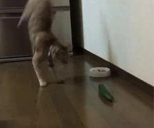 Gatti che odiano i cetrioli, un video che vi farà morire dalle risate