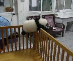 Un piccolo panda cerca di fuggire dalla culla dove è tenuto