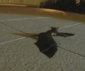 Questo piccolo pipistrello chiede aiuto, ed ecco qualcosa di magico
