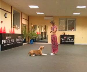 Questo pitbull danza con la sua padrona. Uno spettacolo incredibile