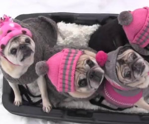 Quattro cani amano andare sulla slitta