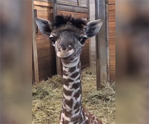 Avete mai visto una giraffa più carina di questa?