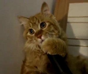 Questo gatto ama l'aspirapolvere