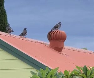 Questo piccione ha una vita più felice della tua
