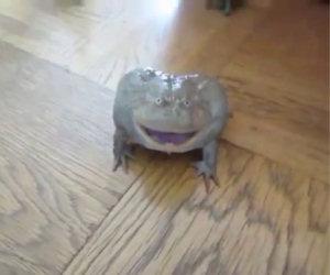 Questa buffa rana urla non appena viene toccata da qualcuno