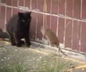 Ratto gigante non ha paura dei gatti