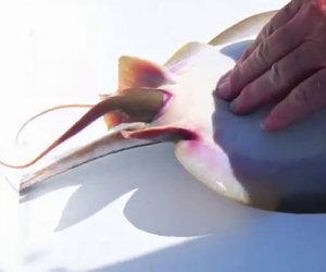 Razza appena pescata partorisce