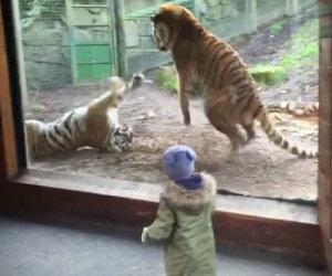 L'incredibile reazione di una tigre che viene svegliata all'improvviso