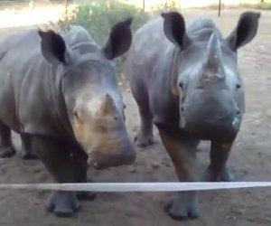 I rinoceronti si avvicinano ma non fanno il verso che ci si aspetterebbe