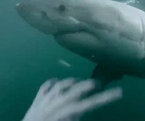 Si tuffa e trova uno squalo bianco