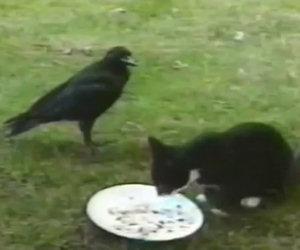 Strana amicizia tra un gatto e un corvo