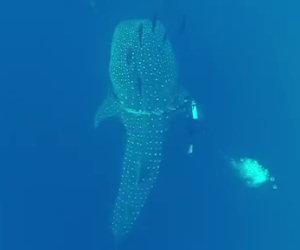 Un sub salva la vita ad un enorme squalo balena che nuota vicino a lui