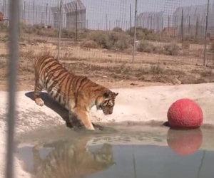 Due tigri vengono salvate e toccano l'acqua per la prima volta