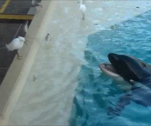 Un uccello si fida troppo di un'orca assassina... e fa molto male!