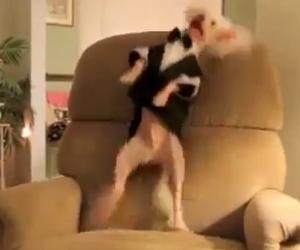 Un folle cane ballerino