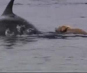 Un labrador ed un delfino nuotano ogni giorno insieme