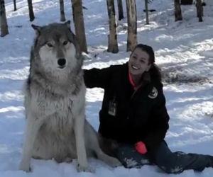Un lupo gigante si siede vicino alla sua amica e gioca con lei