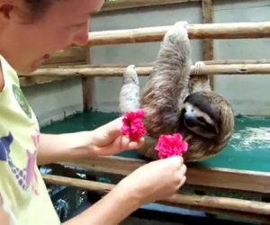 Si avvicina ad un bradipo e gli fa un regalo, ecco la sua reazione