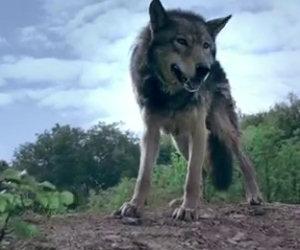 Questo lupo vi accompagna in un viaggio che non dimenticherete