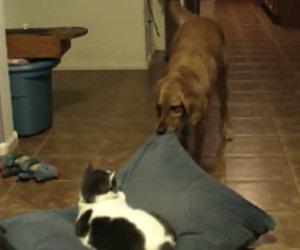 Cane fa togliere dal letto il gatto