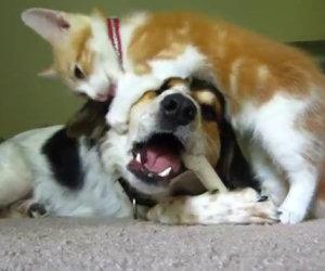 Gatto stuzzica cane che morde un osso