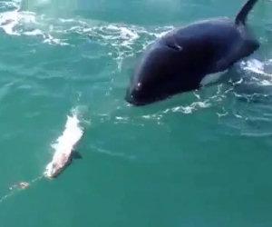 Orca ruba il pesce di un pescatore