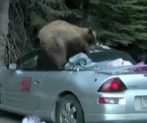 Orso ruba il cibo da un'automobile