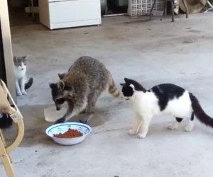 Procione ruba il cibo dei gatti