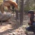 Ecco come reagisce questa volpe quando vede la sua amica