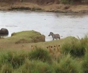 Zebra ci ripensa in tempo