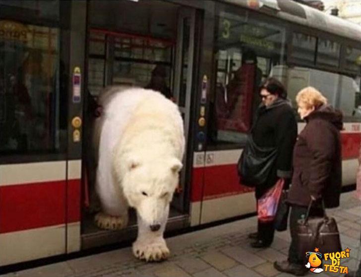 Orso pendolare