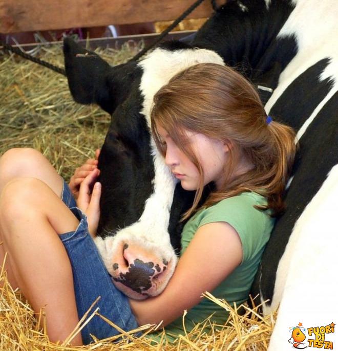 Anche le mucche sanno essere dolci