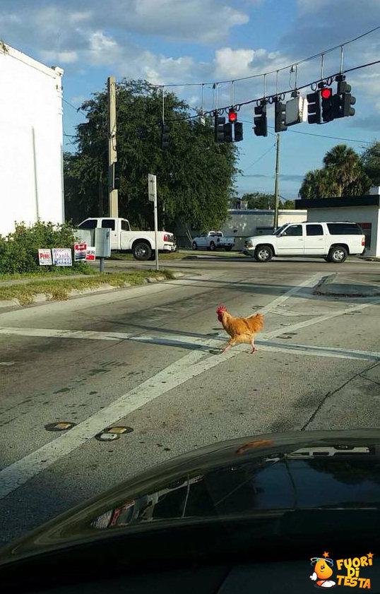 Attraversamento di galline
