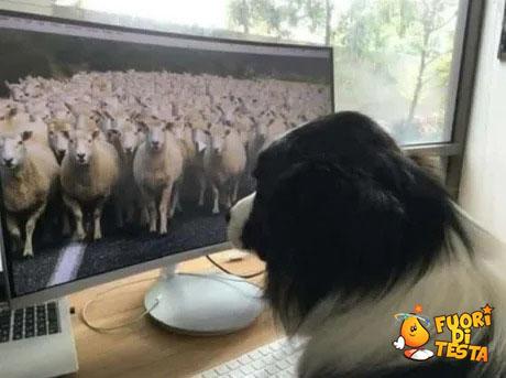 Cane pastore lavora da casa