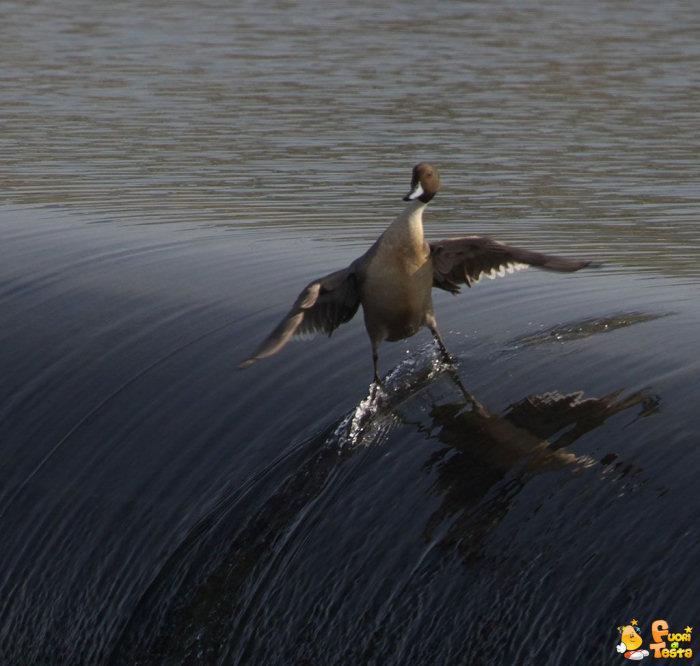 Ecco la papera surfista!