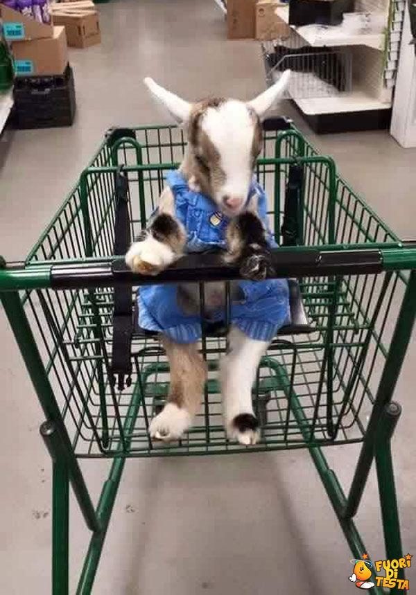 Fare la spesa con una capretta